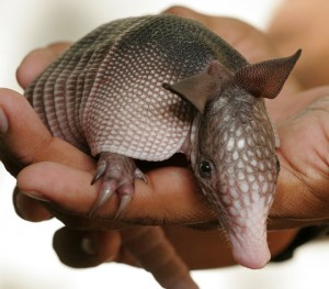 The armadillo – the armadillo carries M. leprae, probably infected by man