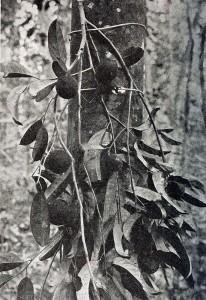 Chaulmoogra plant