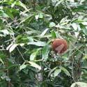 Chaulmoogra (plant) ©Thierry Pellucuer